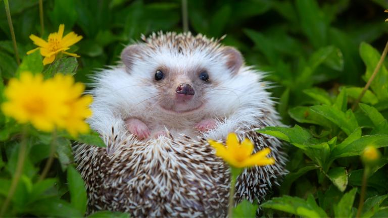 Hedgehog Cafe